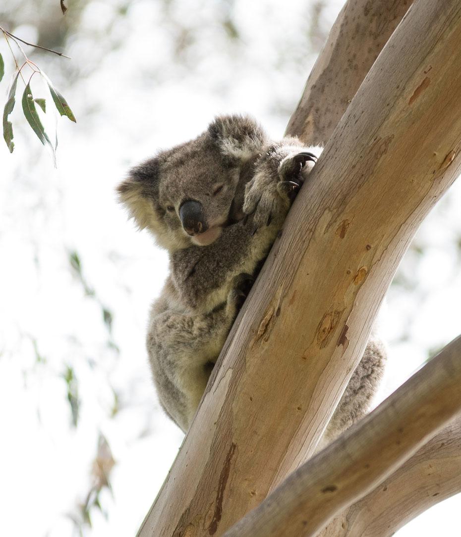 Don't panic - als Koala lässt man sich auch von ein paar deutschen Touristen nicht aus der Ruhe bringen. Für mich war es ein tolles und spannendes Erlebnis Koalas in freier Wildbahn photographieren zu können.