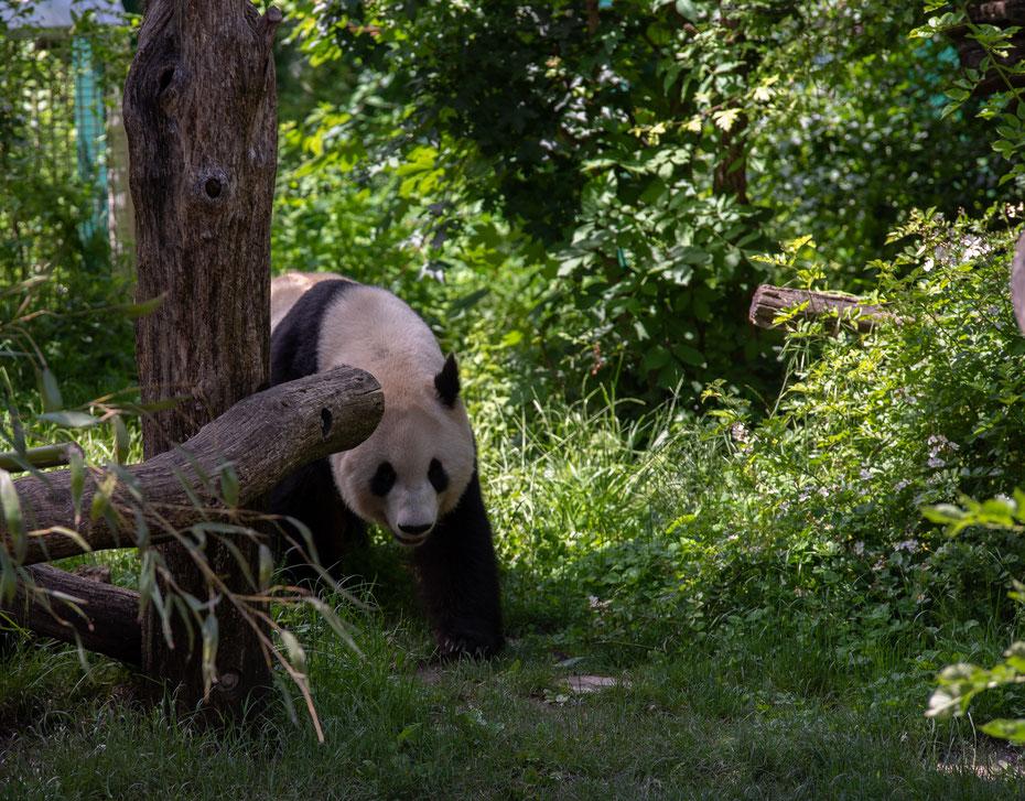 Das Symbol für weltweiten Artenschutz - der Panda ist eine der bedrohtesten Spezies. Der Tiergarten Schönbrunn nimmt an einem weltweiten Erhaltungszuchtprogramm teil um die Pandas wieder in ihrem Lebensraum anzusiedeln.