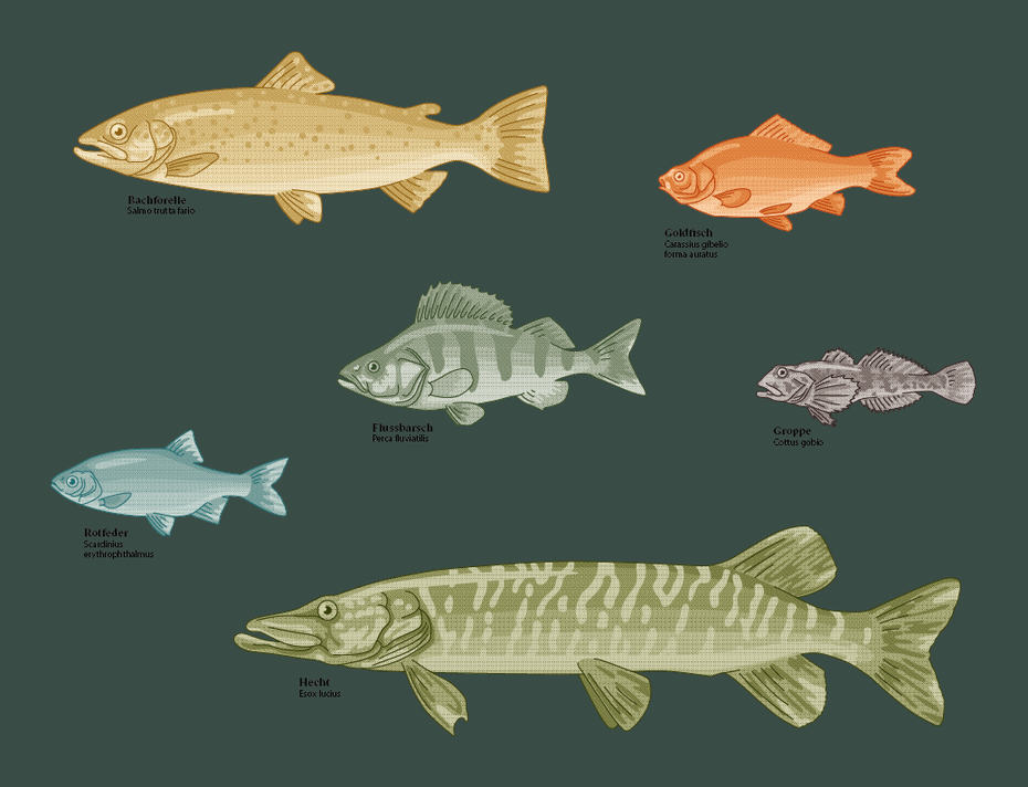 v.l.n.r. Rotfeder, Bachforelle, Hecht, Flussbarsch, Goldfisch, Groppe © Michael Stünzi