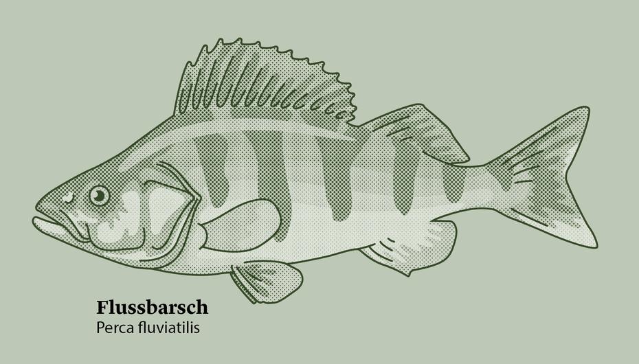 Einer von sechs Fischarten - hier der Flussbarsch (Ausschnitt) © Michael Stünzi