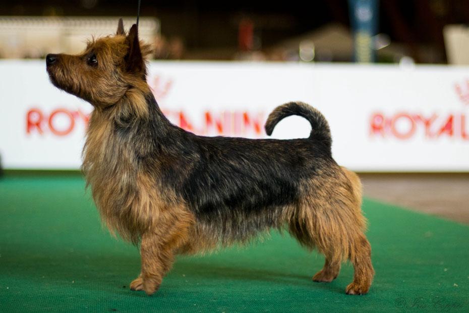 "Deerhounds and Australian Terrier ""VON DEN GRAUEN ANFURTEN"""