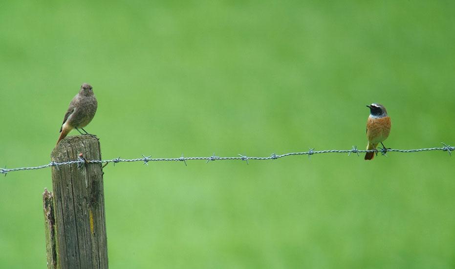 Gartenrotschwanz-Männchen (rechts) mit Hausrotschwanz-Weibchen, Muotathal, 08.2015