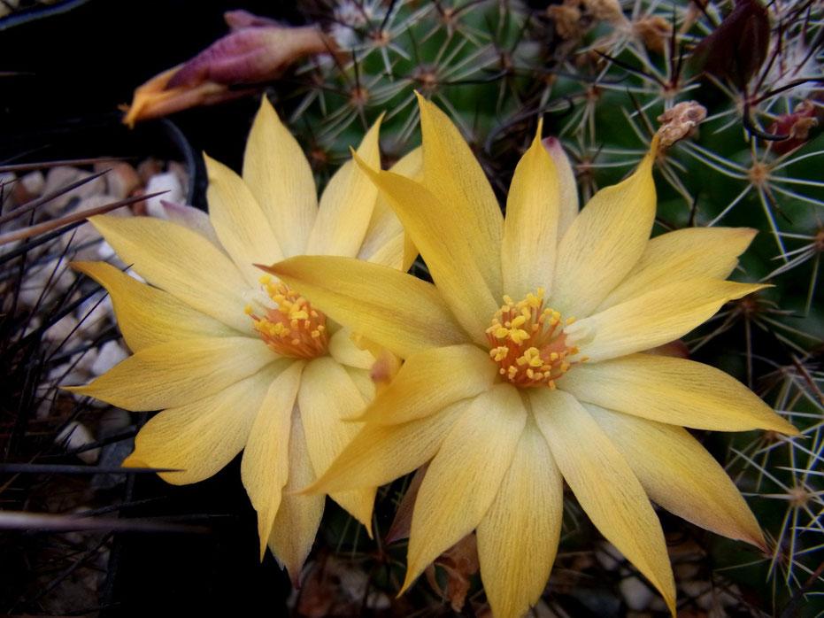 Mammillaria beneckeii