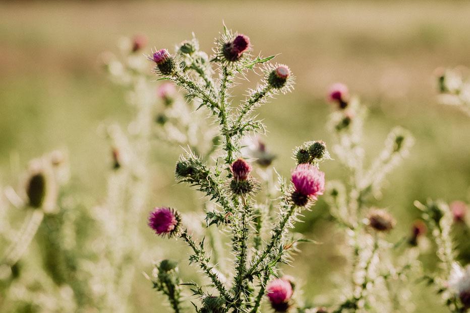 rosa blühende Disteln in einem Feld