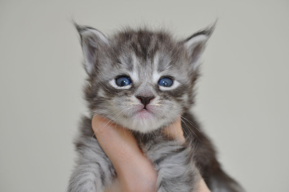 silver maine coon, grey maine coon, silver tabby maine coon