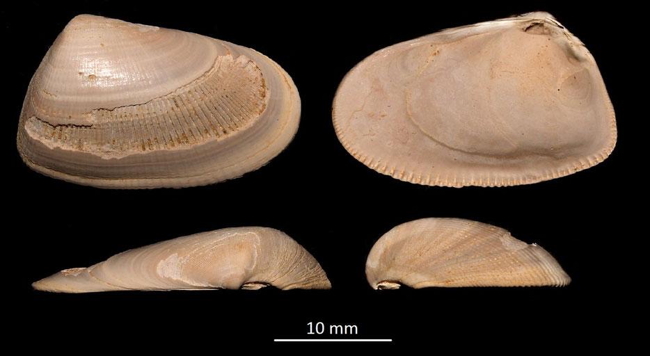 Donax (Chion) affinis, Miocene dell'Aquitania
