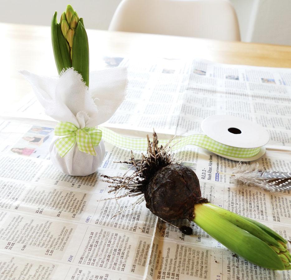 Frühlingsdekoration DIY Hyazinthe in Stoff mit grün karierter Schleife verpackt