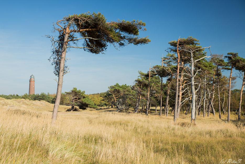 Darßer Ort -Windflüchter (windschiefe Bäume) und im Hintergrund der Leuchtturm Darßer Ort
