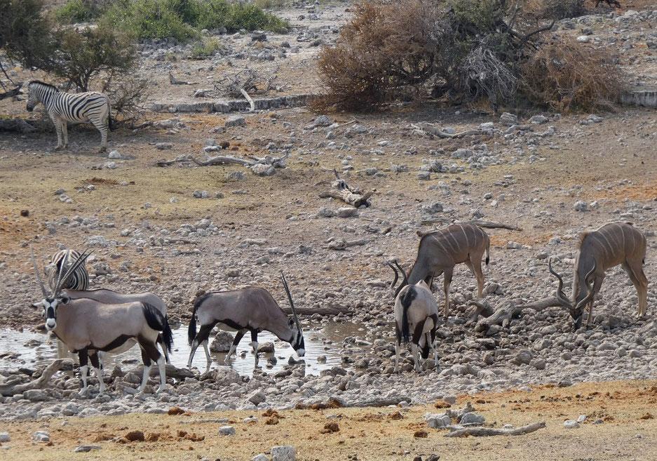 Oryx, zèbres, grands koudous