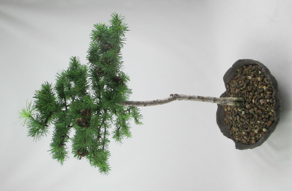 Bonsai - Larix kaempferi, Japanische Lärche