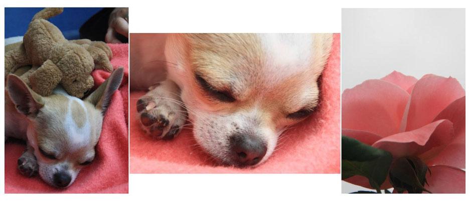 bébé chihuahua