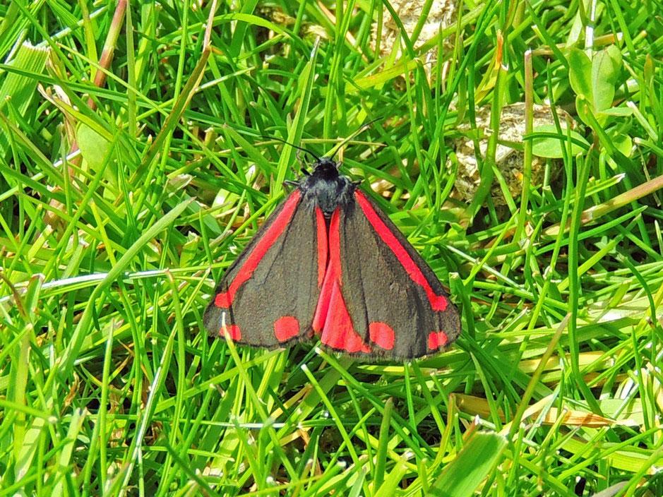 Rotwidderchen - Roodfleck- Zygaeninae – Burnet Sabine Rümenap Schmetterlinge
