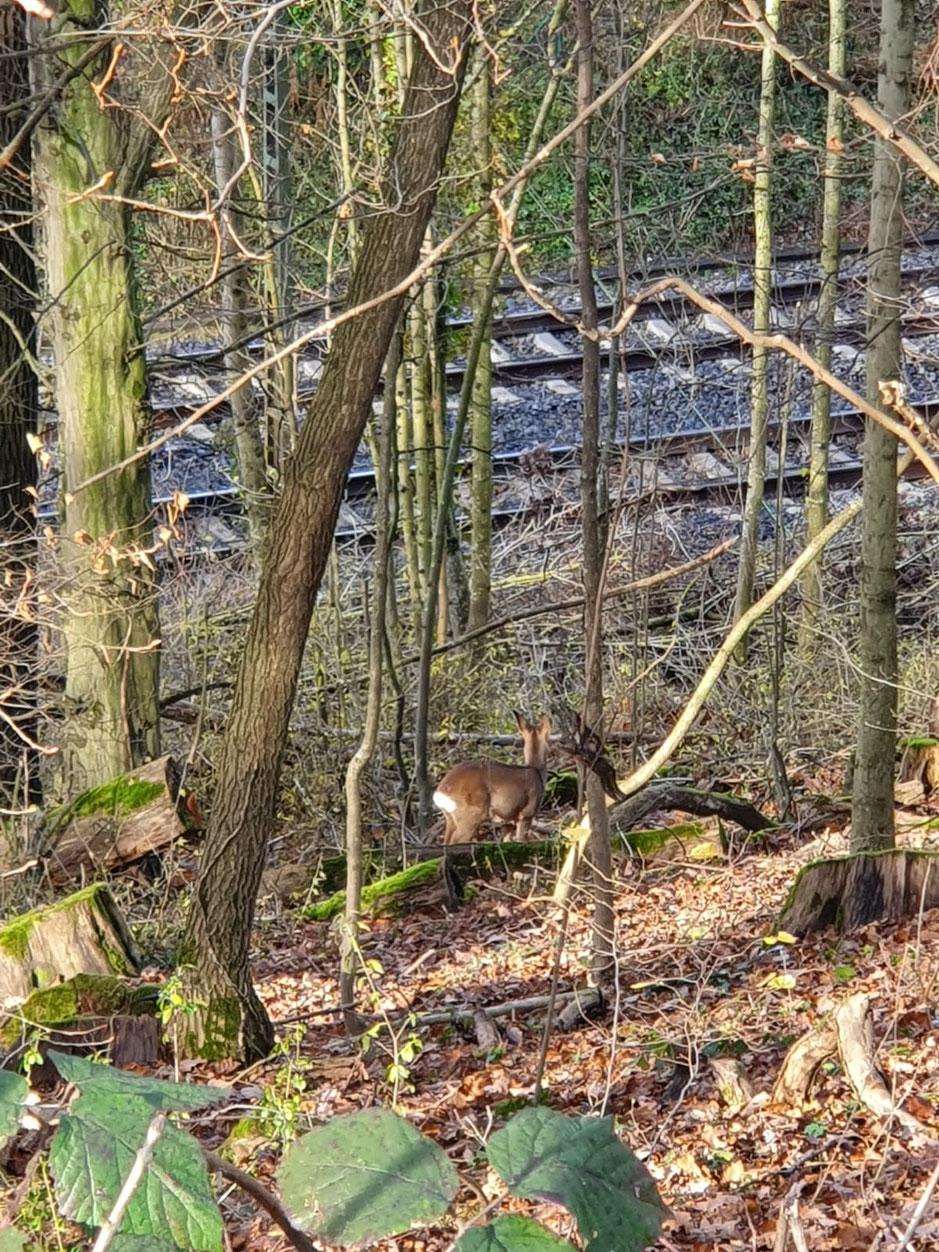 Rehe, in gesetzlich geschützten, wertvollen Biotopen auf der Zähringer Höhe, Biotopverbund FFH-Mooswald - FFH-Roßkopf