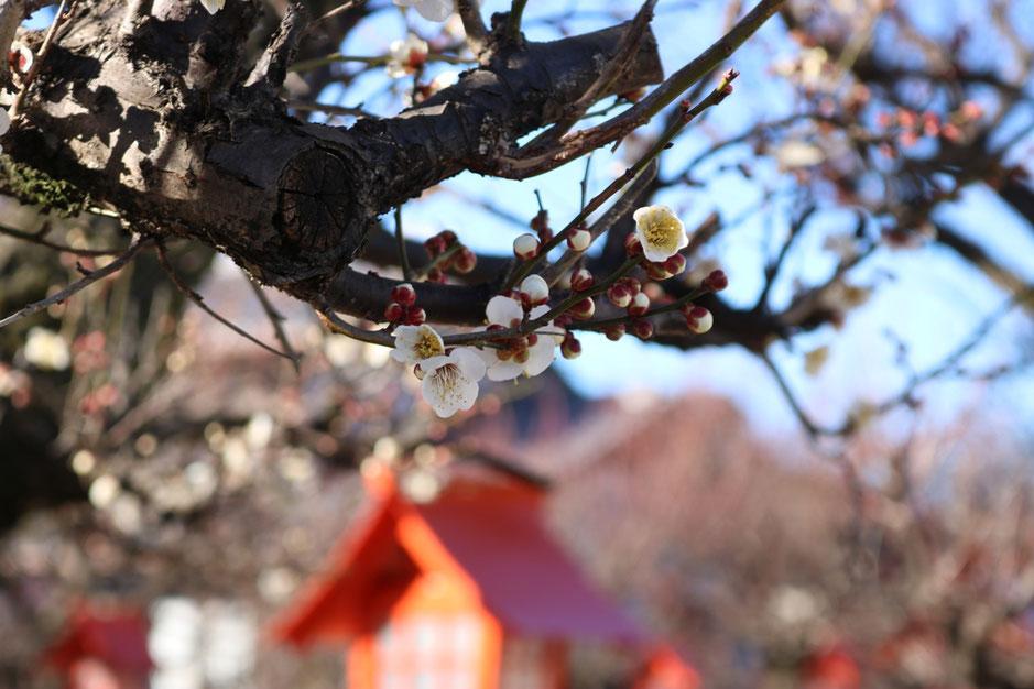 さのまちなかグルメ 佐野 朝日森天満宮 梅の花