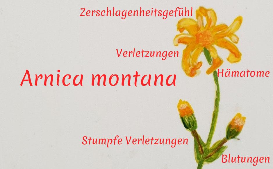 Auf dem Bild ist die Zeichnung einer Arnica Pflanze mit ihren homöopathischen Arzneieigenschaften zu sehen.