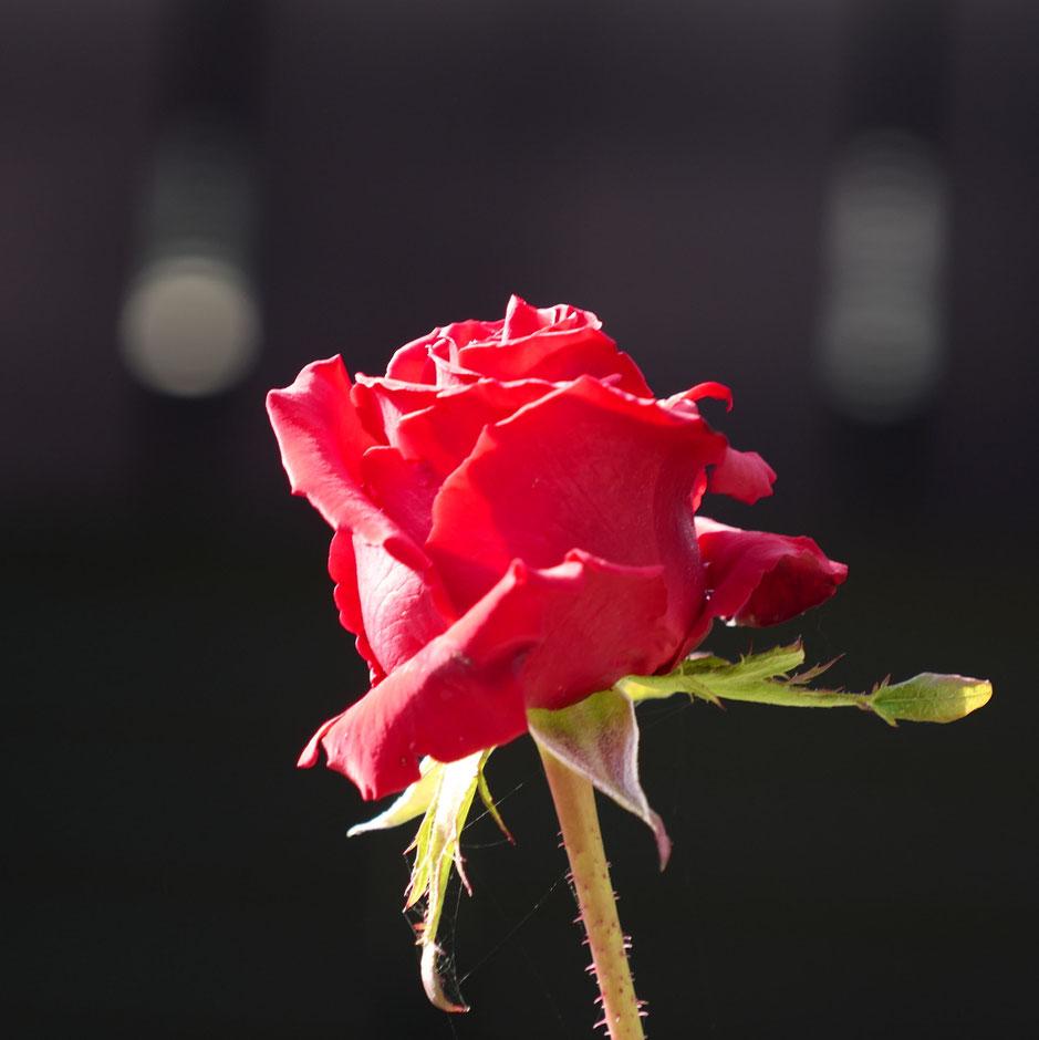 Leica SLライカ タンバールM F2.2/90mmLeica Thambar M F2.2/90mm Rose 薔薇