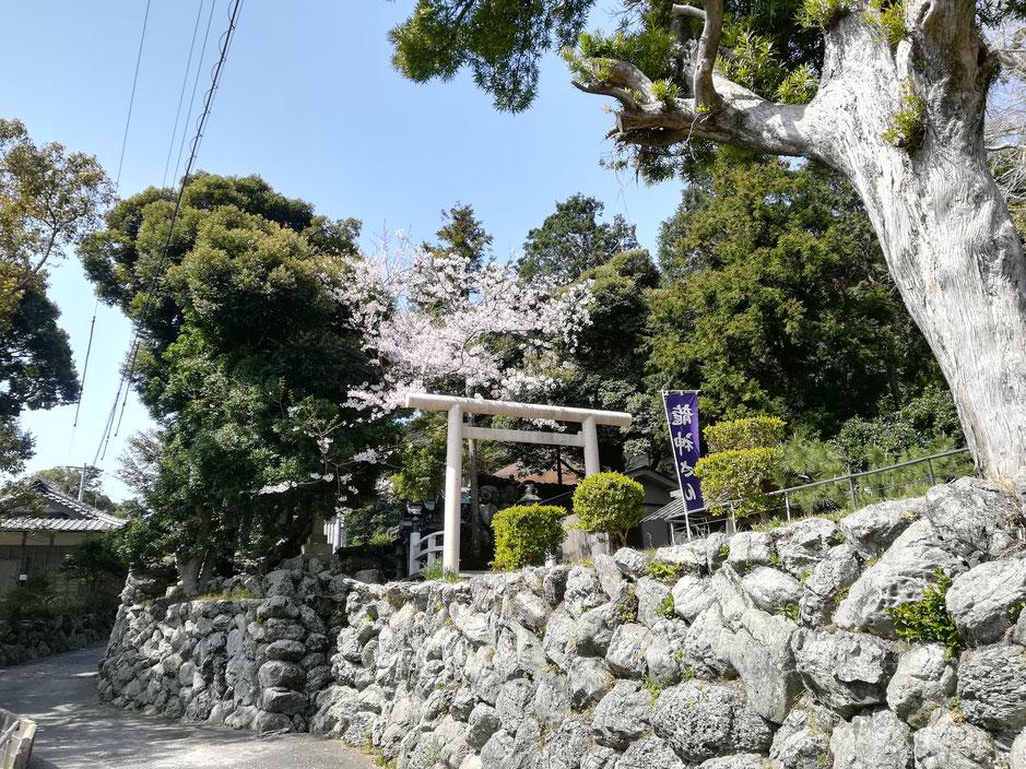 つばき公園のすぐ隣の美多羅志神社では、鳥居と桜がいい味だしています。