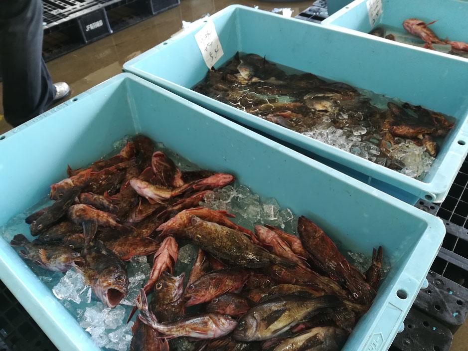 こんな新鮮でおいしい魚が山ほどあるのに。宝の持ち腐れとはこのことだ!!
