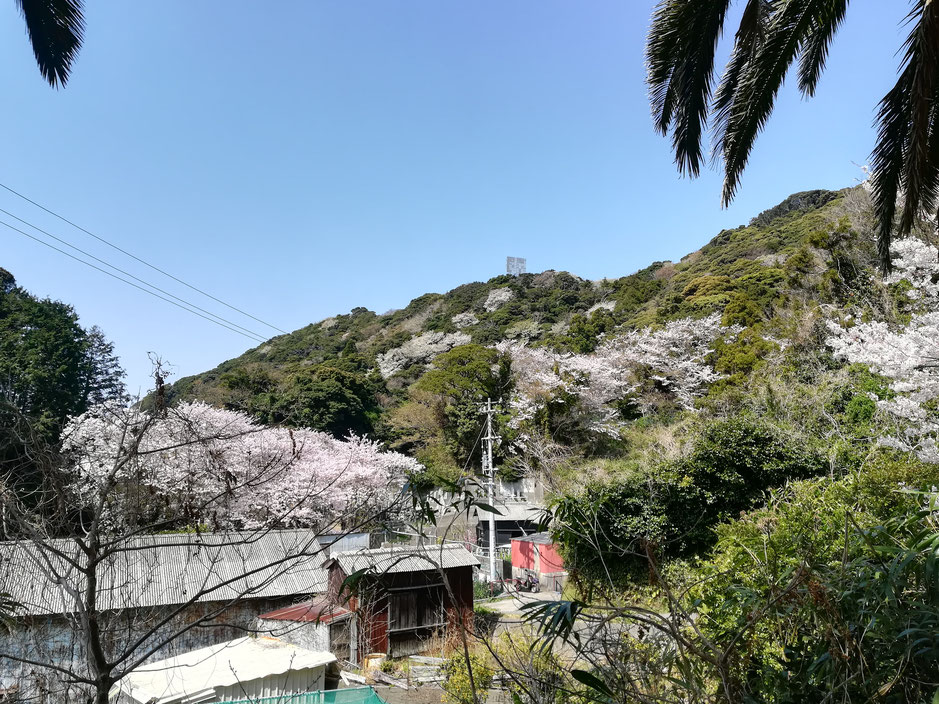 墓場の桜はきれい、これは自然の摂理。