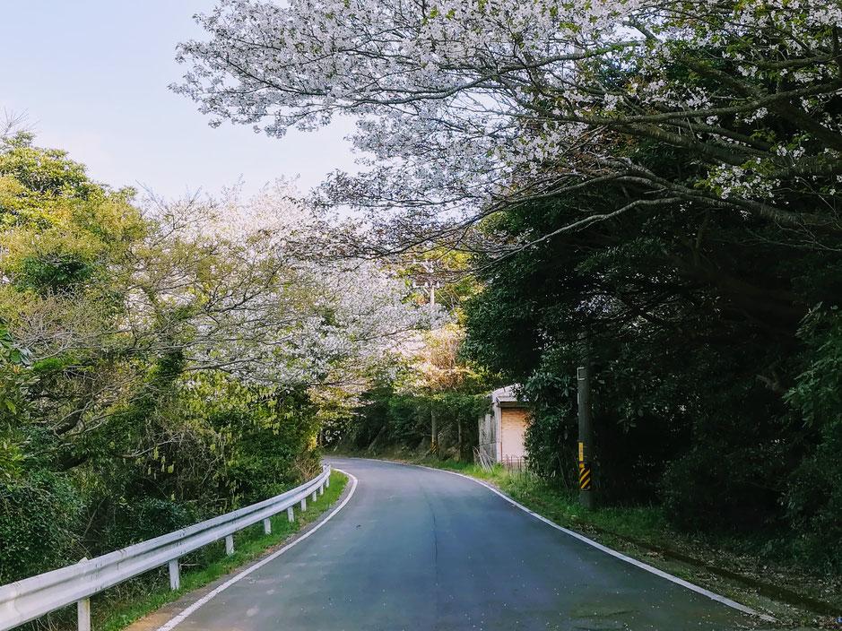 桜のトンネルもあるよ。
