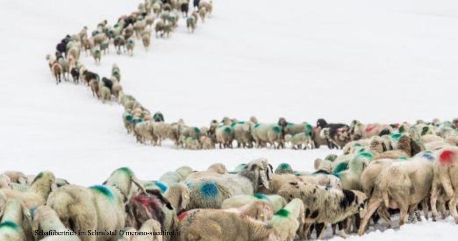 Schafübertrieb Schnalstal Ötztal, Laas im Vinschgau, Vernagt, Hinteres Ötztal, Schafe, Übertrieb Südtirol Nordtirol, Schafe Alpenhauptkamm, Transhumanz, Transhumanz Schnalstal Ötztal, Kurzras