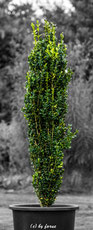 Säulenbux