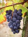 Pinot Noir Alsace Eber