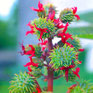 fififum撮影「とうごまの花」