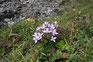 Wildblumen in den schweizer Bergen