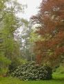 Rhododendron im Park am Hutberg Kamenz