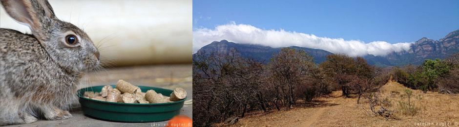 Haas en Drakensbergen in Zuid-Afrika
