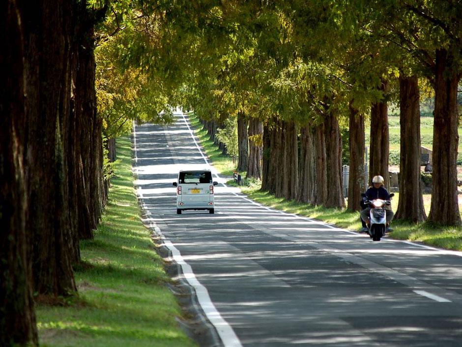 街路樹のメタセコイアが美しい空間を作っている。ここは一度は走ってみたい道