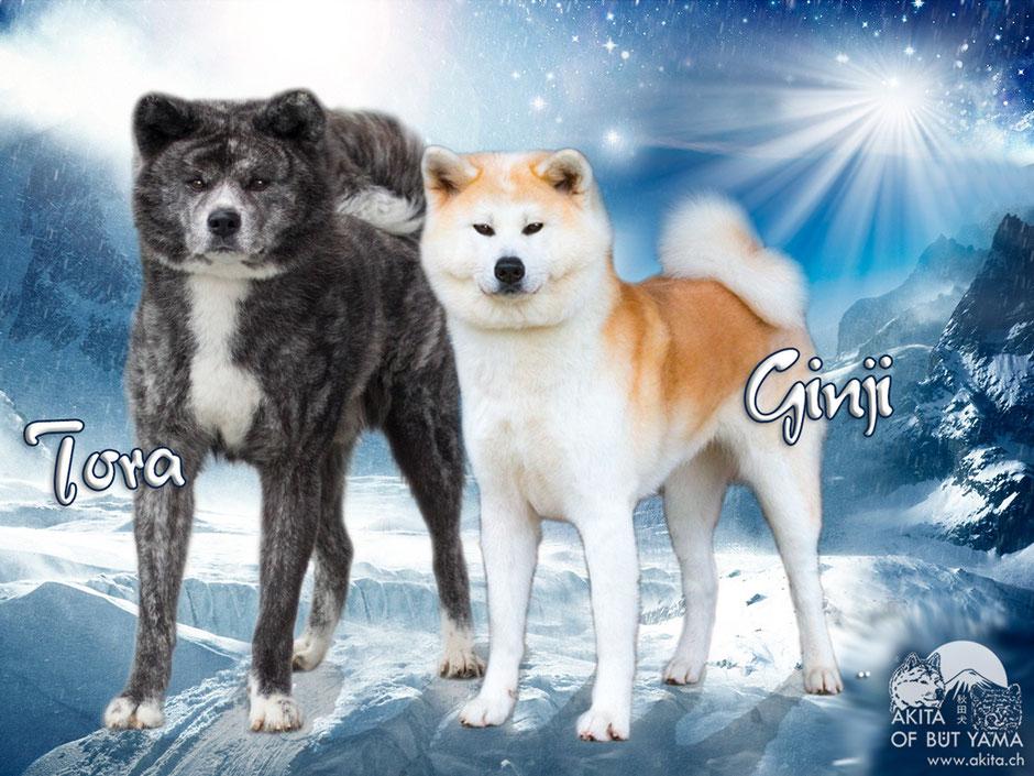 Akita O-Wurf Tora x Ginji