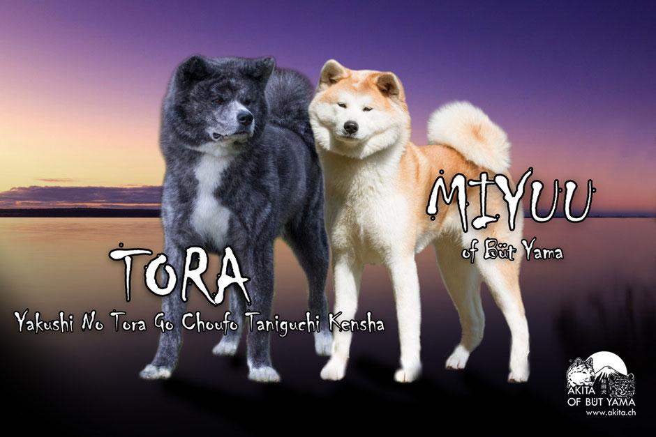Akita Verpaarung Tora x Miyuu