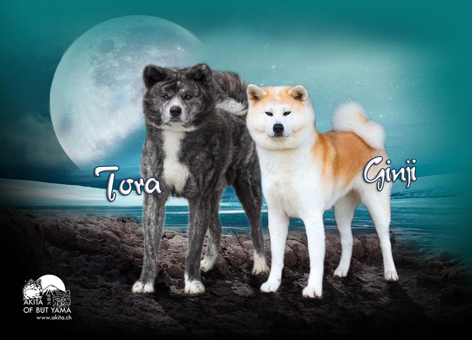 Eltern Q-Wurf Ginji & Tora