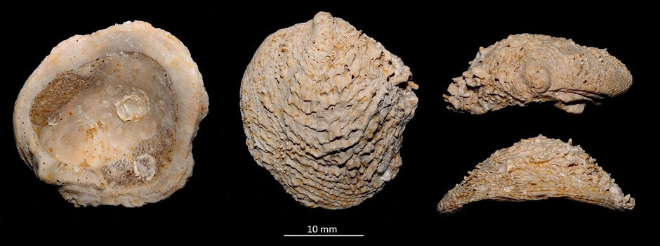 Chama aquitanica, Miocene dell'Aquitania