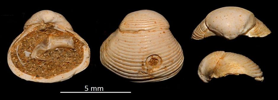 Corbula gibba, Miocene dell'Aqitania