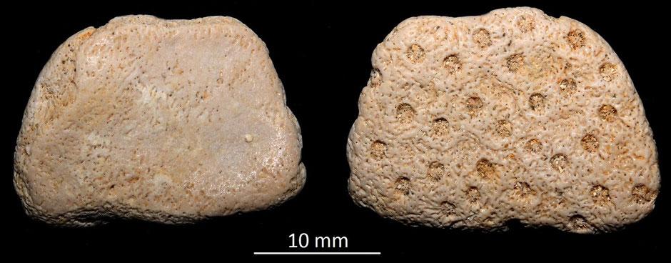 Turbinaria sp. Miocene dell'Aquitania