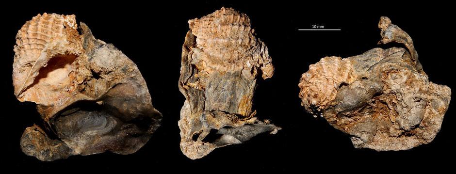 Bivetiella subcancellata, Miocene dell'Aquitania, in associazione con Ostrea
