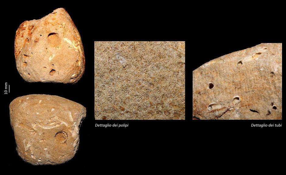 Porites collegnana collegnana che incrosta un sasso, Miocene dell'Aquitania; da notare i tubi e i fori creati successivamente da altri organismi marini.