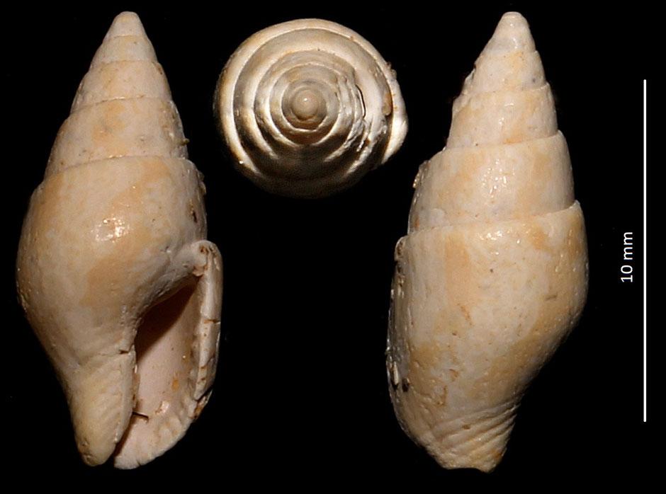 Columbella turonensis mut. aquitanica, Miocene del bacino dell'Aquitania