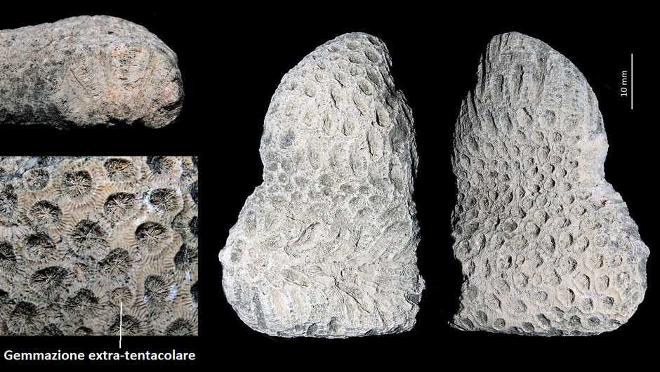 Solenastrea sp., Miocene dell'Aquitania