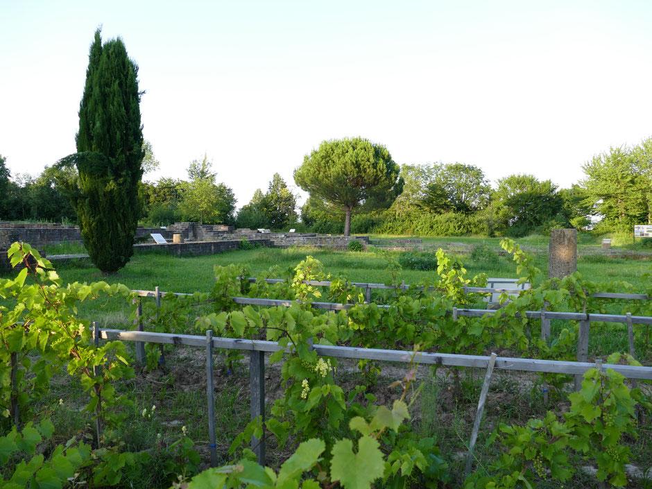 Weinbau in römischer Tradition: Villa rustica Wachenheim