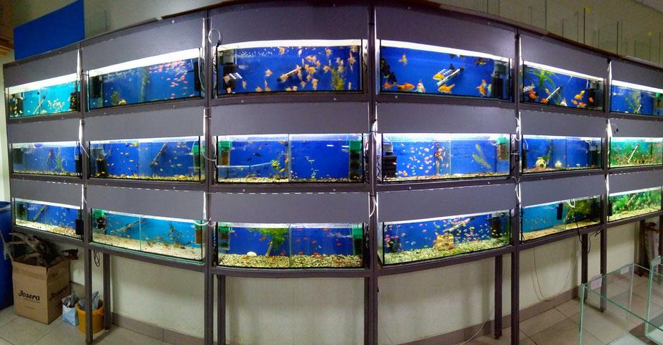 рыбки-зоомагазин-винница-мир-животных-и-растений