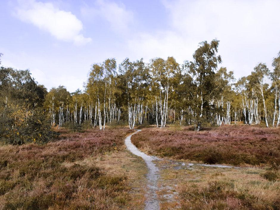 Die Osterheide mit ihren zahlreichen Birken, Wacholdersträuchen und der verblassten Herbtstheide