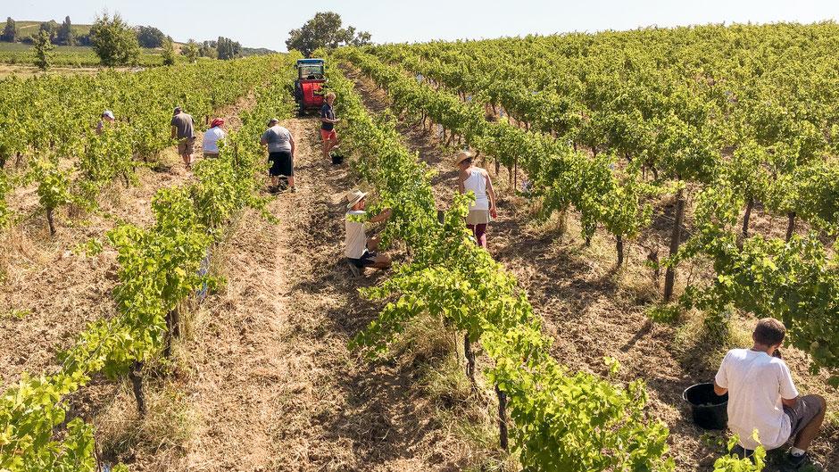 Vendanges manuelles - Vignoble de Gaillac - Château de Mayragues