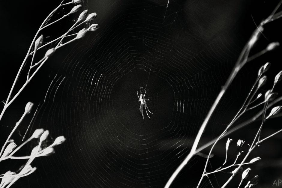 araignée, toile