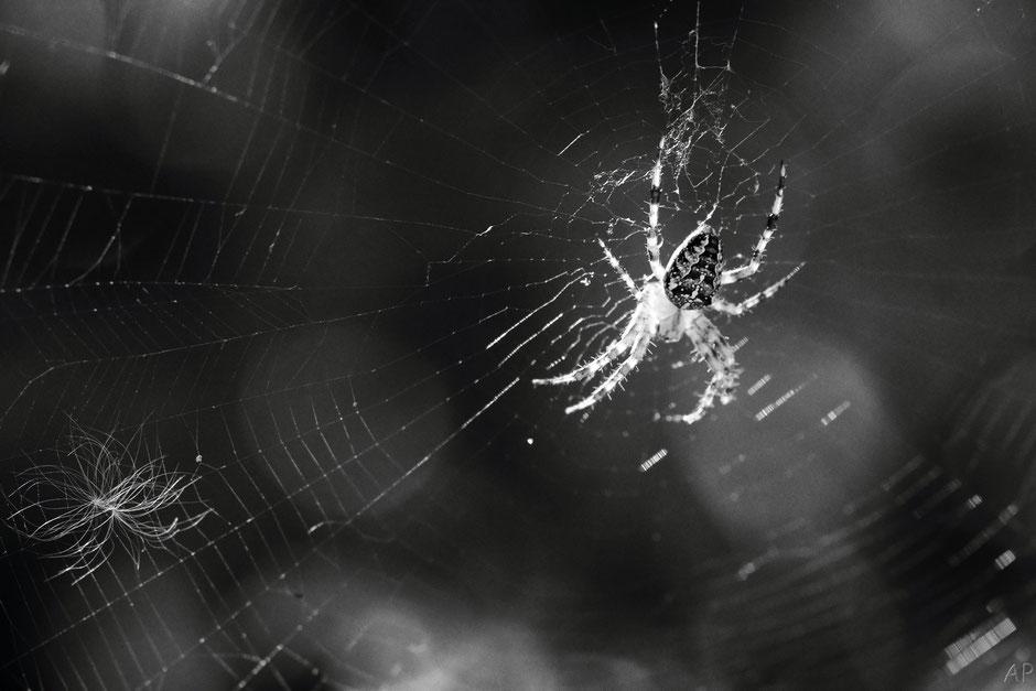 araignée, toile, épeire