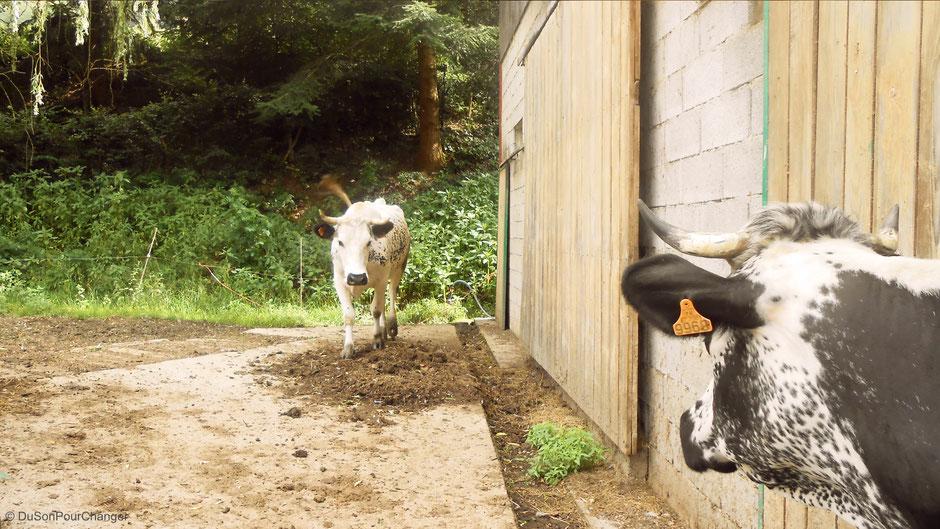 vaches vosgiennes à l'entree de la ferme humbert du son pour changer