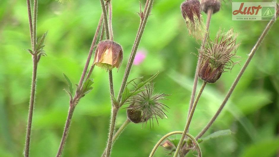 Beim Verblühen bildet die Bach-Nelkenwurz eine Sammelfrucht. Diese besteht aus vielen kleinen Klettfrüchten.
